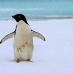 Melting Ice Reveals Mummified Penguins in Antarctica